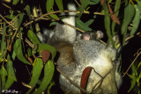 Koala with Joey (baby)  Kangaroo Island  3