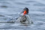 Pied Oyster Catcher, Bruny Island, Tasmania  1