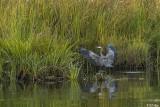 Great Blue Heron landing  30