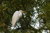 Great Egret  36