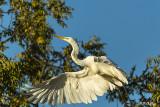 Great Egret taking flight   37