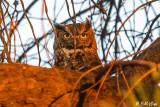 Great Horned Owl  6