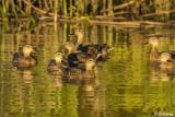Mallard Ducks  17