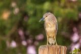 Night Heron  23