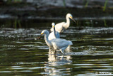 Snowy Egrets  32