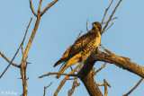 Swainsons Hawk   9