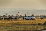 Cattle Farming  1