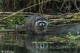 Raccoon  2018  6