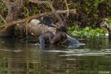 River Otter  2018   8