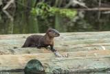 River Otter  2018   6