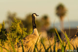 Canada Geese  51