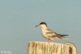Common Tern  25