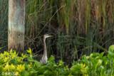 Great Blue Heron  52