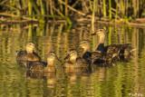 Mallard Ducks  51