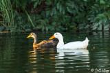 Mallard Ducks 50