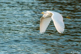 Snowy Egret  100