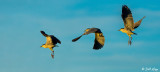 Night Heron  Composite  2
