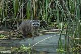Raccoon   20