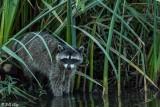 Raccoon   21