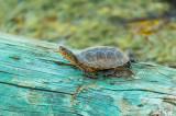 Western Pond Turtle   20