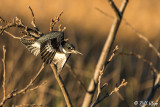 Belted Kingfisher 17
