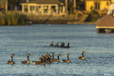 Canada Geese  57