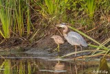 Great Blue Heron  60