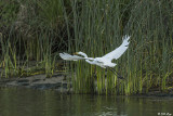 Great Egret  50