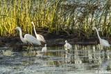 Great Egrets  52
