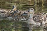 Mallard Ducks  52