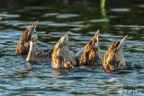 Mallard Ducks  55