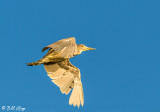 Night Heron  52
