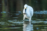 Snowy Egret  102