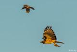 Swainsons Hawk  25