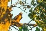 Swainsons Hawk  26