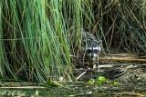 Raccoon   23