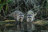 Raccoons   22
