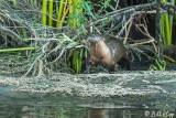 River  Otters  54