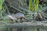 River  Otters  55