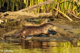 River  Otters  57