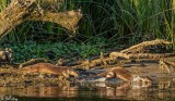 River  Otters  58