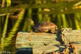 Western Pond Turtle   22