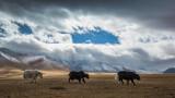 Yaks in Altai
