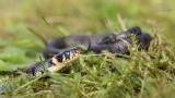 Wildlife - Nederland - Ringslang