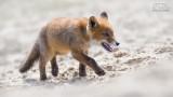 Wildlife - Nederland - Jonge vos 2