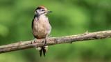 Wildlife - Nederland - Jonge bonte specht