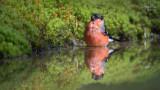 Wildlife - Nederland - Goudvink