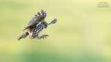 Wildlife - België - Steenuil