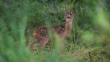 Wildlife - België - Reekalf