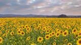 Landschap - Holsbeek - Zonnebloemen